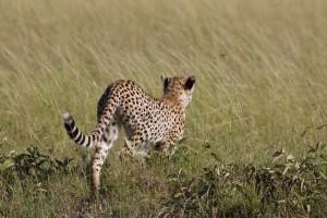 Young cheetah begins to stalk