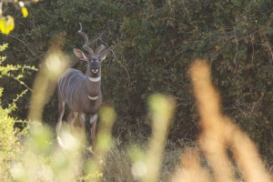 lesser kudu in a thicket