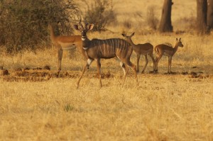 lesser kudu in the open with impala behind