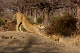 lioness stretching after a nap next to her mate
