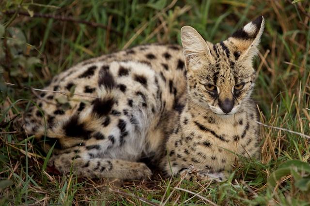 Serval cat resting