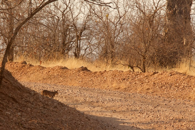 Caracal crosses the track