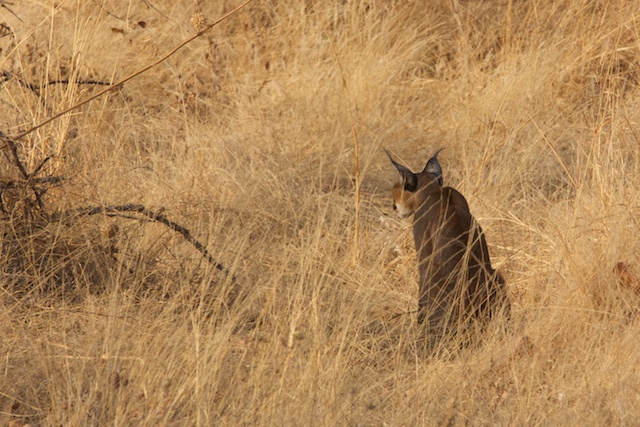 Caracal listening for prey
