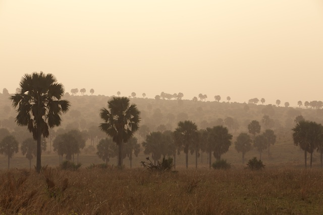 Borassus palm valley