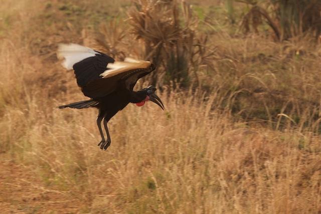 Abbissinian ground hornbill