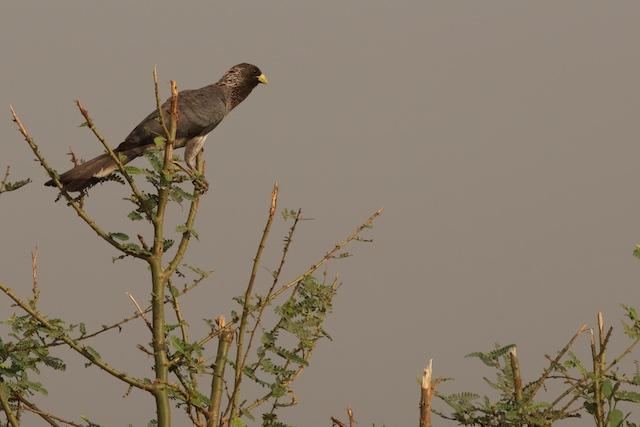 Eastern grey plantain-eater