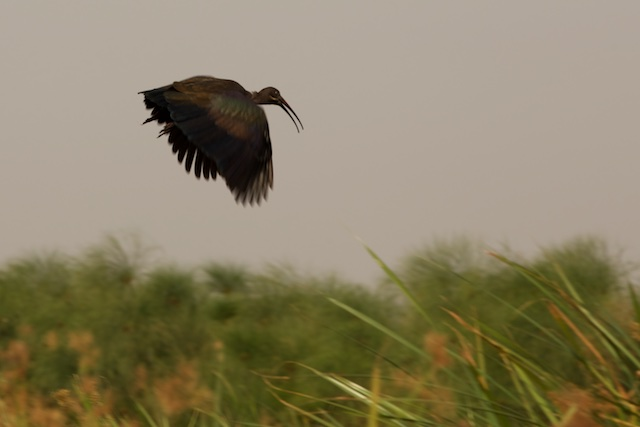 Hadada ibis in flight