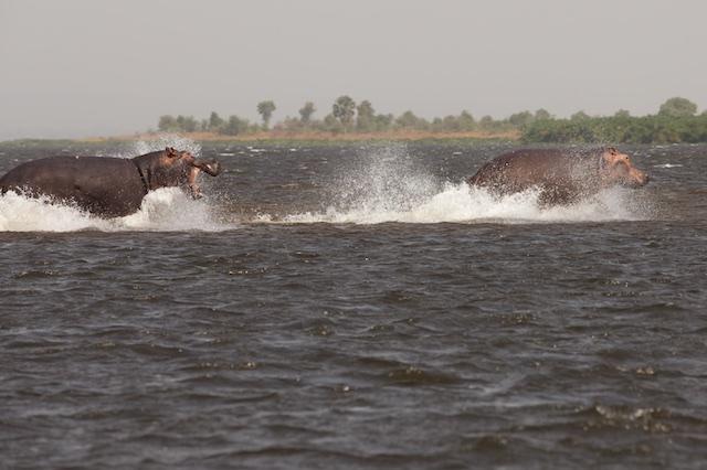 Hippo dash