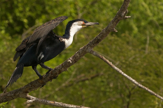 Greater cormorant