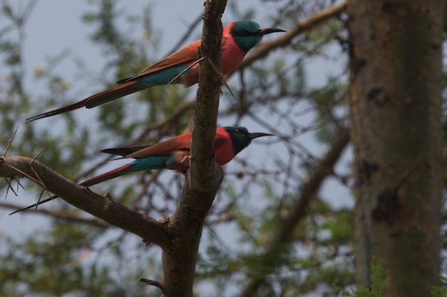Northern carmine bee-eaters