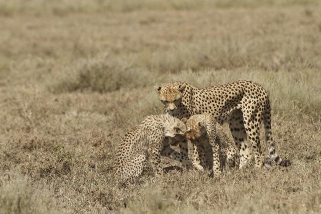 Cheetah cubs looking at the fawn