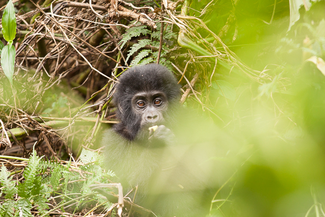 An infant gorilla peeks
