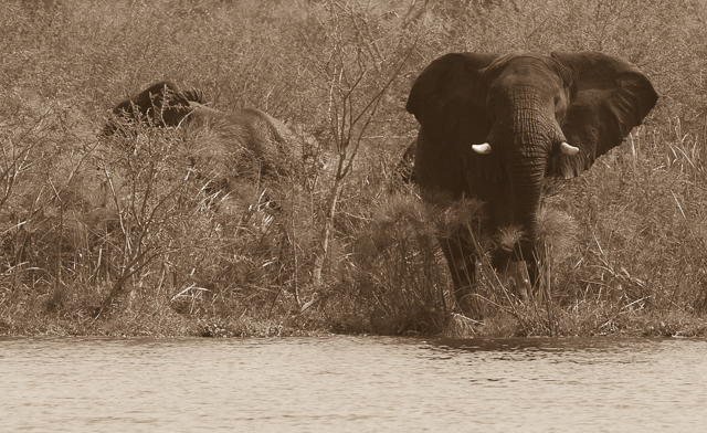Bull elephant at the river's edge