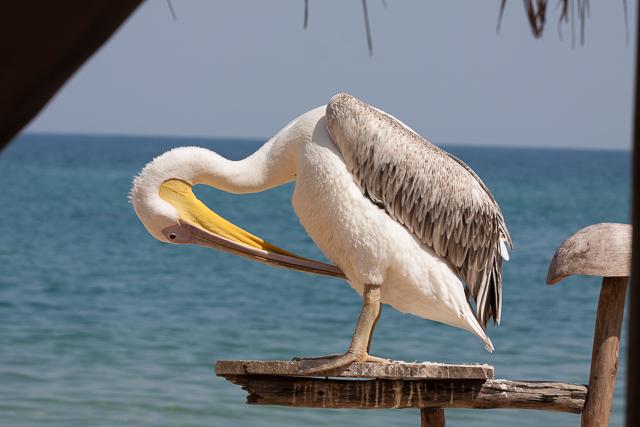 Big bird preening