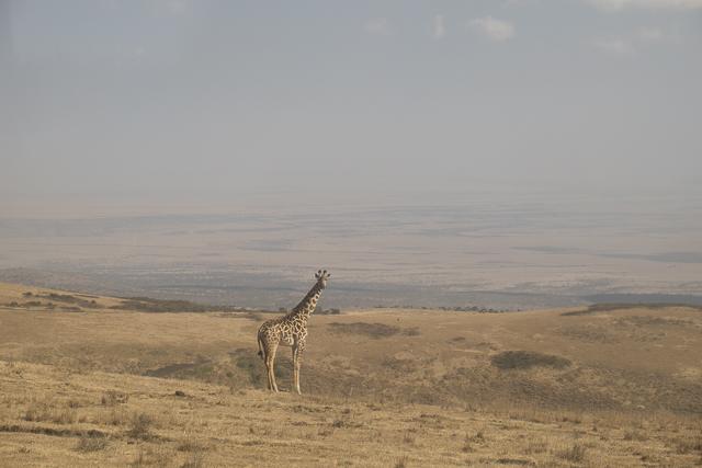 Giraffe desert