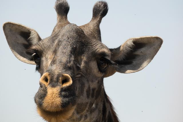 Masai giraffe face