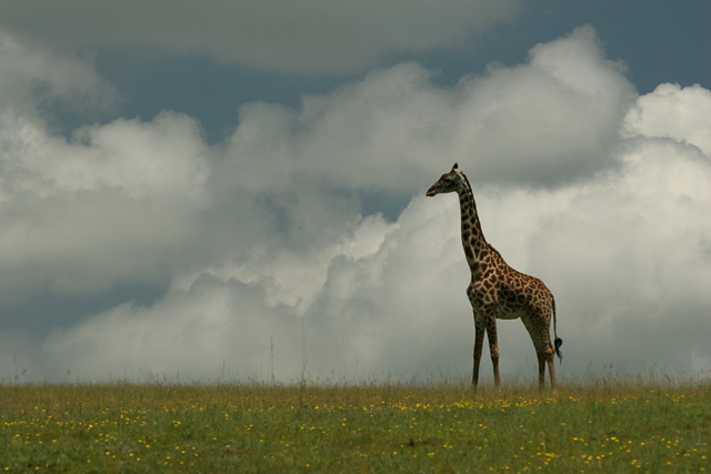 Masai giraffe in the Serengeti