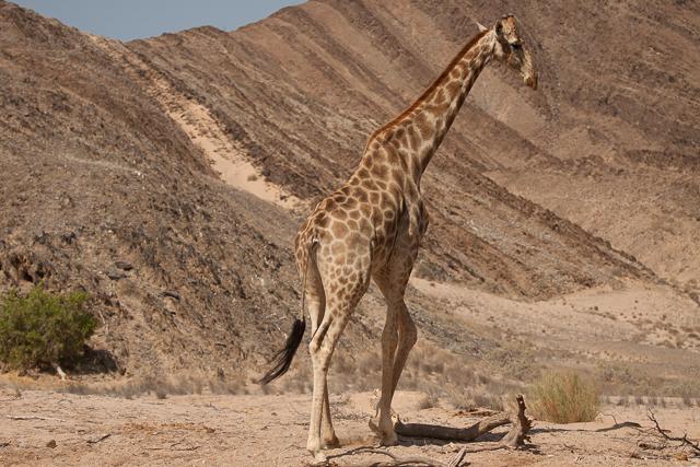 Southern giraffe in Namibia