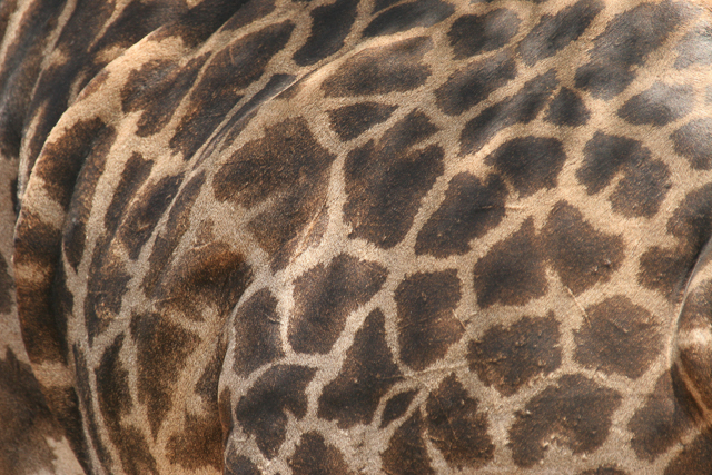 Masai giraffe patterns
