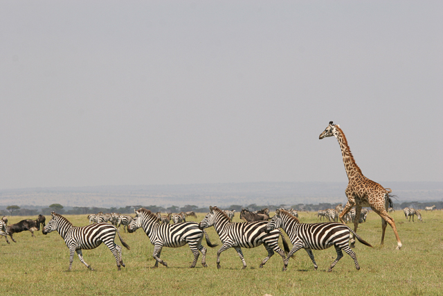 Masai giraffe and plains zebra in the Serengeti